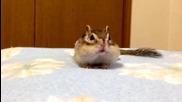 Сладка малка сибирска катеричка