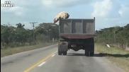 Прасе скача от камион, спасява живота си!