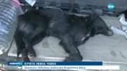 Кучета разкъсаха възрастна жена в Козловец - централна емисия