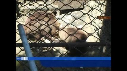 Мечка избяга от зоопарка в Айтос.