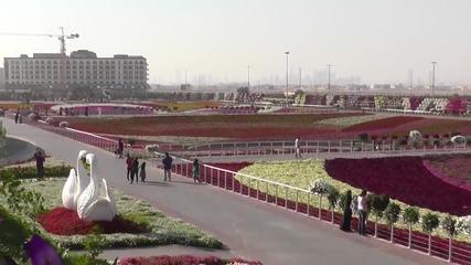 Dubai Miracle Garden е най-голямата цветна парк в света. Т