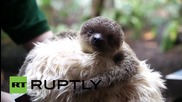 UK: Baby sloth cuddles soft toy to build strength after mum stops lactating