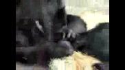 Любовни Ласки Между Маймуни