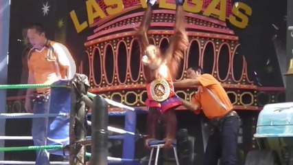 Thailand: Orangutan Boxing in Bankok draws criticism from animal rights groups