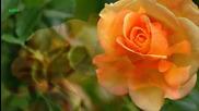 Красиви Рози - Честит празник 8 март