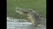 Gigantski Krokodil Qade Kostenurka