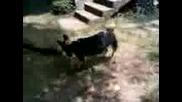 най Силното Куче На Света