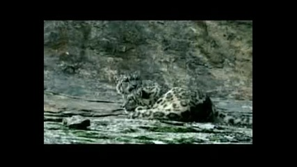 Planet Earth - The Snow Leopard