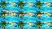 Plumeria - цвете от Рая на Земята! ... ( Ernesto Cortazar music) ... ...