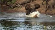 Майка слон се спасява от смъртоносни челюсти
