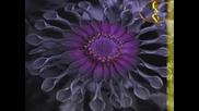Емили Дикинсън - Да Бъдеш Цвете Е Дълбока Отговорност