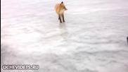 Валко харесва и обича лисиците
