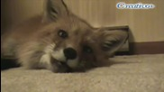 Как говорят лисиците