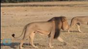 Conservation Group Plans Memorial for Slain Zimbabwe Lion