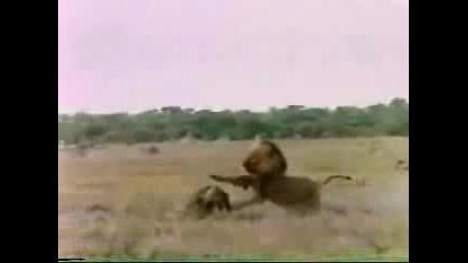Лъвове И Хиени