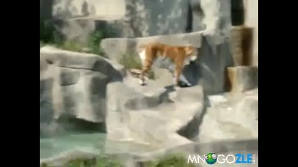 Птица напада тигър !