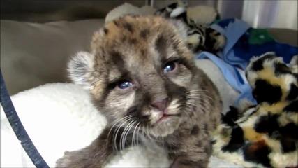 Хора спасяват изоставена пантера!