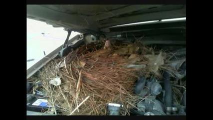 oposum se zaselil v avtomobil