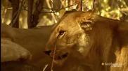 Какво става , когато лъвовете са гладни..