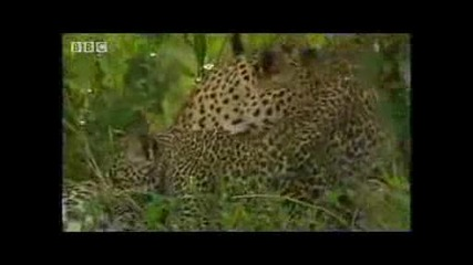 Bbc Wildlife - Леопард с/у Зебра