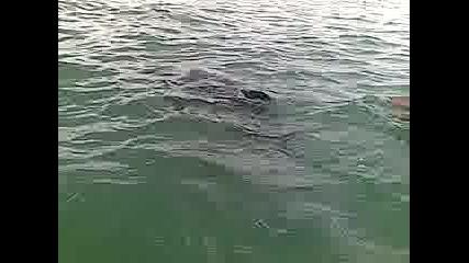 Делфин на Ахтопол