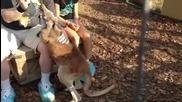 Хранене с мляко и погалване на малки сладки бебета кенгуру в зоопарк.