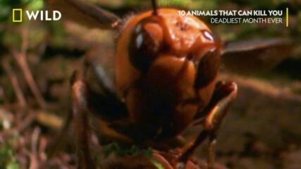 Смъртоносни стършели | Десет животни, които ще ви убият | NG Wild Bulgaria