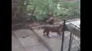 Сблъсъкът на Титаните Пиле срещу Куче - Смях