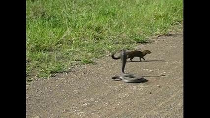 кобра срещу мангуста