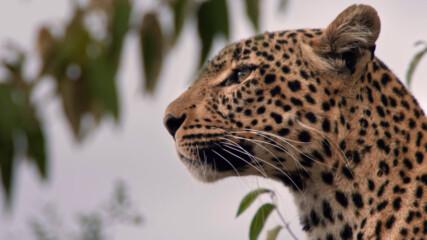 откъс от Леопардът с нефритения поглед | Месец на Големите Котки | NG Wild Bulgaria