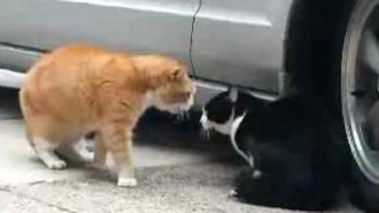 Erkek Kedilerin Kavgasi Mart Ayi Erkek Kedilerin Ayi Secilmistir Mquuu Komik Sahne Bohoo D 2017 Hd