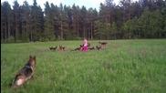 5 годишно момиченце си играе с 14 немски овчарки.