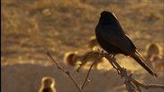 Хитра птица лъже сурикати