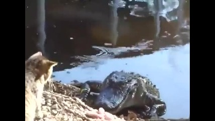 Котка срещу Крокодил