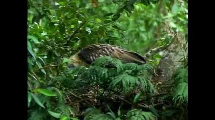 Най - високият орел в света - Филипинският горски орел !
