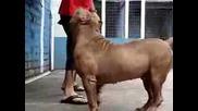Maximus of Red Facebull