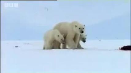 Живота на Полярните мечки