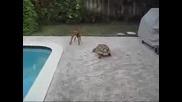 Kaplumbaga Kopegi Kovaliyor