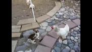 Щуро - Кокошки спират бой между зайци