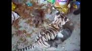 Тигърче Срещу Коте - Сладък и  Равностоен Двубой