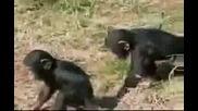 Непослушното шимпанзе - маймунски работи