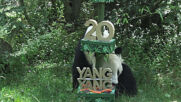 Panda Yang Yang celebrates 20th birthday at Vienna Zoo with delicious veggie cake