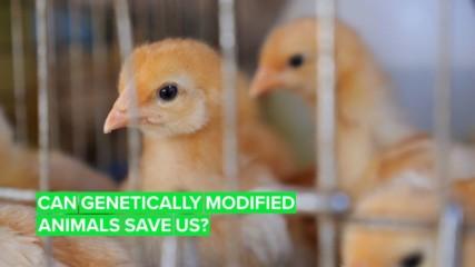 Генномодифицирани животни са бъдещето на нашето оцеляване