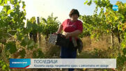Кризата заради пандемията удари и реколтата от грозде
