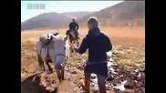 Езда понита и монголска борба - племе