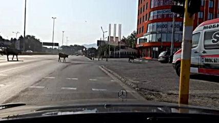Крави на бул.