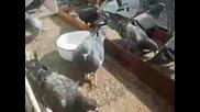 Моите гълъби - S000874-Gylybi.asf