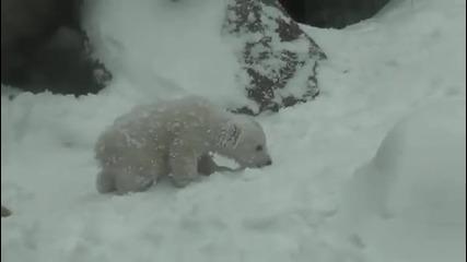 Първите дни на едно полярно мече в снега