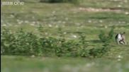 Хермелин на лов за заек