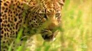 Жестоко убийство на младия леопард..